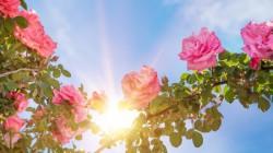 rose-sonne